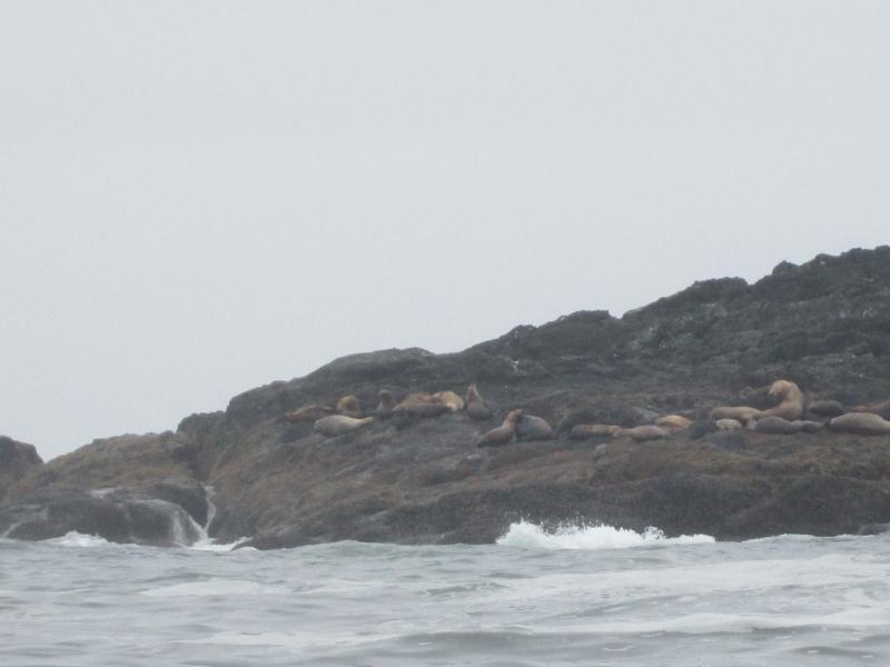 Stelar-Sea-Lions-Ucluelet