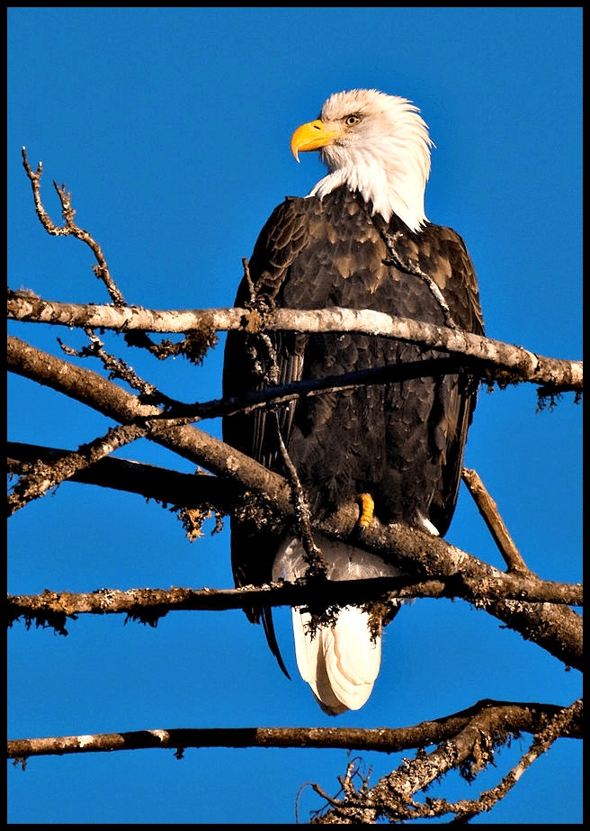 Bald Eagles are seen on Ucluelet BC Fishing Charters