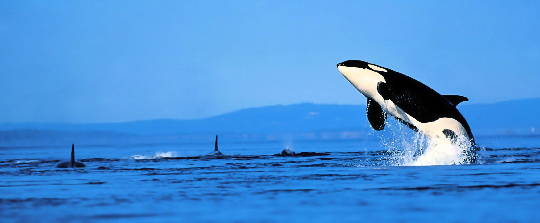 killer-whales-jumping